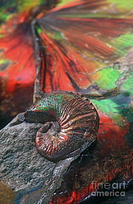 Colorful Ammonite Poster