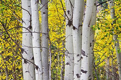 Colorful Autumn Aspen Tree Colonies Poster