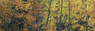 Colorful Changing Aspens Panorama - Divide Colorado Poster by Brian Harig