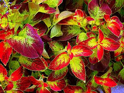 'colorful Coleus' Poster