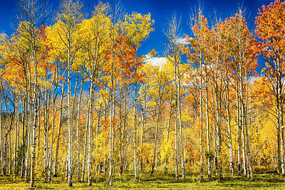 Colorful Colorado Autumn Aspen Trees Poster by James BO  Insogna