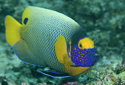 Colorful Emperor Angelfish (pomacanthus Poster by Jaynes Gallery