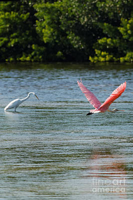 Colorful Flight Of The Spoonbill Poster