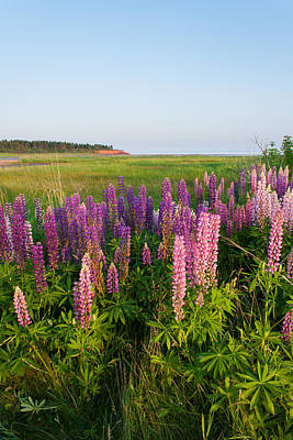 Colorful Lupins Poster by Matt Dobson