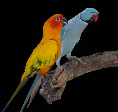 Sun Conure And Ring Neck Parakeet Poster