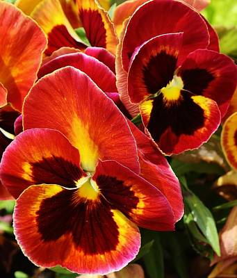Colorful Pansies Poster by Bruce Bley