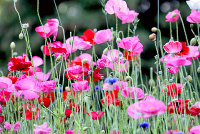 Poster featuring the photograph Colorful Poppies by Peggy Collins