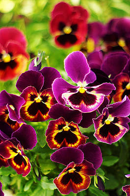 Poster featuring the photograph Colorful Purple Pansies by Suzanne Powers