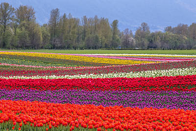 Colorful Rows Of Tulips In Agassiz Bc Poster by Pierre Leclerc Photography