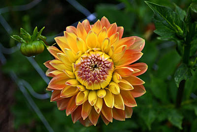 Colors Of Nature - Dahlia 002 Poster by George Bostian