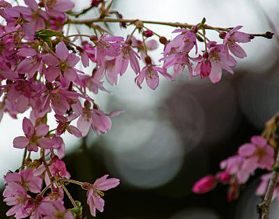 Poster featuring the photograph Colors Of Spring - Cherry Blossoms by Jordan Blackstone