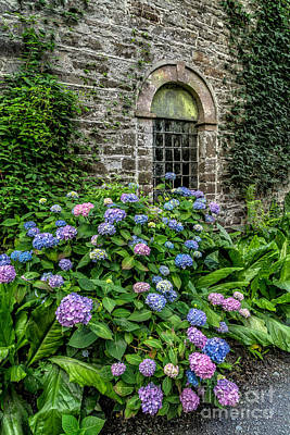 Colourful Hydrangeas Poster by Adrian Evans