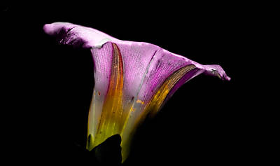colourfull bellflower - Colourful flower in white purple yellow against black background Poster by Leif Sohlman
