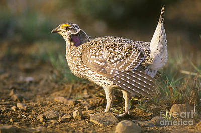 Columbian Sharp-tailed Grouse On Lek Poster