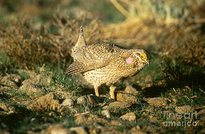 Columbian Sharp-tailed Grouse Poster