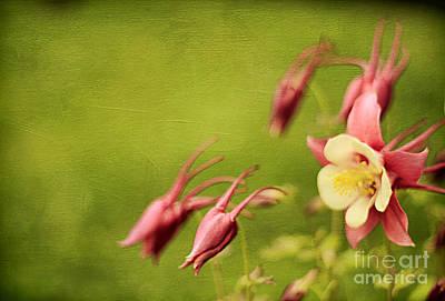 Columbine In Bloom Poster