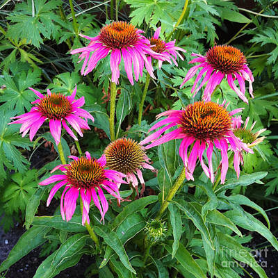 Poster featuring the photograph Comely Coneflowers by Meghan at FireBonnet Art