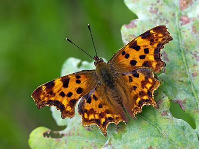 Comma Butterfly France Poster by Frans Hodzelmans