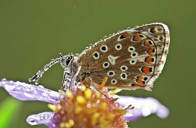 Common Blue Butterfly Covered In Dew Poster