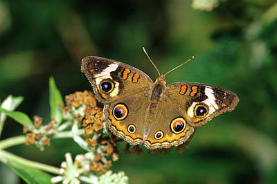 Common Buckeye Butterfly (junonia Coenia Poster by Richard and Susan Day