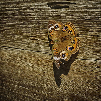 Common Buckeye With Torn Wing Poster by Lynn Palmer