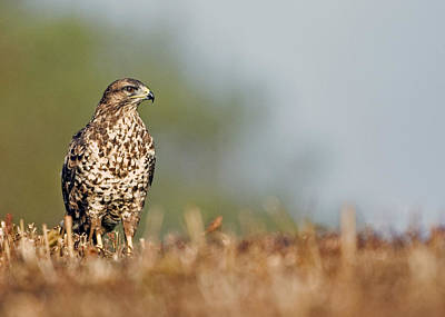 Poster featuring the photograph Common Buzzard by Paul Scoullar