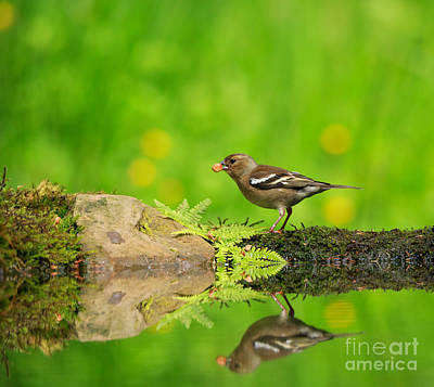 Common Chaffinch Female Foraging Beside A Reflecting Pool Poster