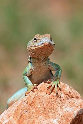 Poster featuring the photograph Common Collared Lizard 2 by Elizabeth Budd