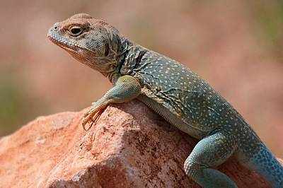 Poster featuring the photograph Common Collared Lizard by Elizabeth Budd