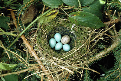 Common Cuckoo Cuculus Canorus Egg Laid Poster by Jean Hall
