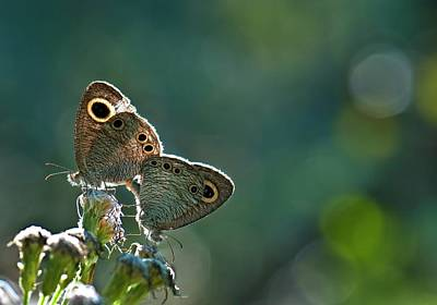 Common Four-ring Butterflies Mating Poster by K Jayaram