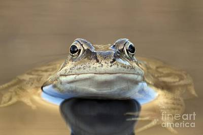 Common Frog In A Pond Poster by Simon Booth