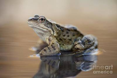 Common Frog On A Pond Poster by Simon Booth