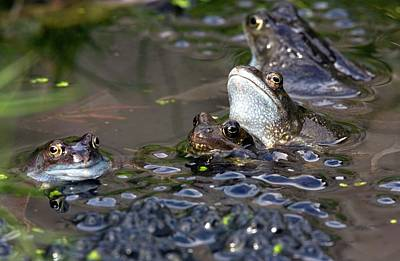 Common Frogs Mating Amongst Frogspawn Poster by Bob Gibbons