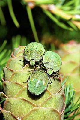 Common Green Shield Bugs Poster