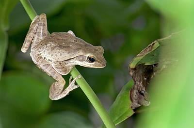 Common Indian Tree Frog Poster