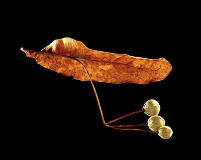 Common Lime (tilia Vulgaris) Fruits Poster by Gilles Mermet