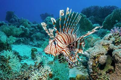 Common Lionfish Poster by Georgette Douwma