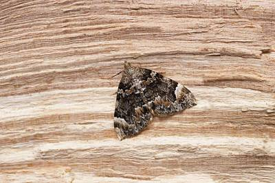 Common Marbled Carpet Moth Poster