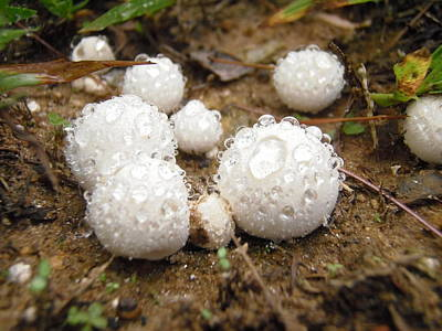 Common Puffball Dewdrop Harvest Poster