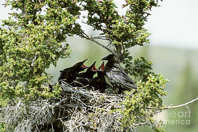 Common Raven Feeding Young In Nest Poster by William H. Mullins