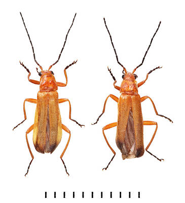 Common Red Soldier Beetle Poster