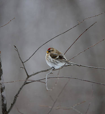 Poster featuring the photograph Common Redpoll by David Porteus