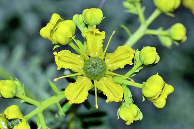 Common Rue (ruta Graveolens) Flowers Poster by Bruno Petriglia