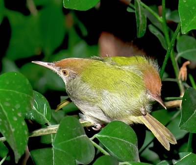 Common Tailorbirds Roosting Poster