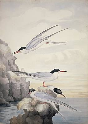 Common Tern, 19th Century Poster by Science Photo Library