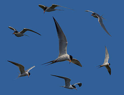 Common Terns Collage Poster by Ernie Echols