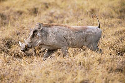 Common Warthog Poster