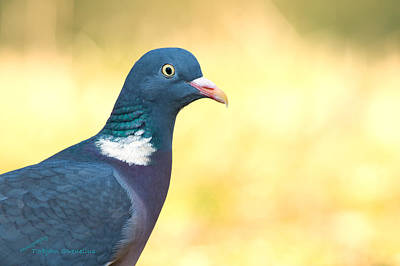 Common Wood Pigeon Poster