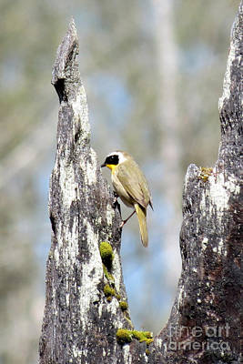 Common Yellowthroat Poster
